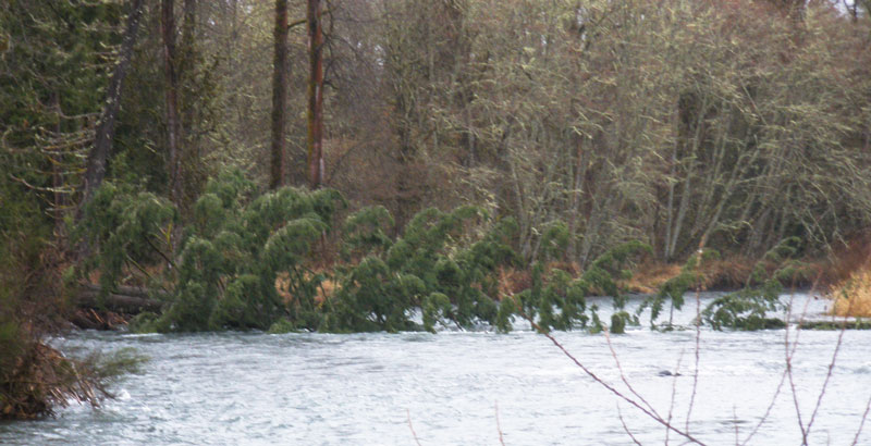 A tree is completely blocking the McKenzie River below Taylor boat landing. 2/23/2013